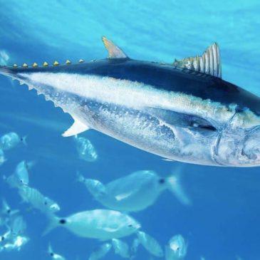 Ouverture & Réglementations Pêche au thon rouge